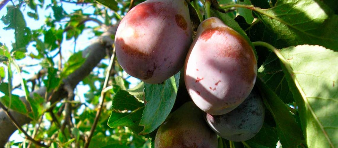 agrosolucionesmendoza-ciruela-de-agen-califoria-sanrafael